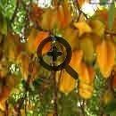 Карамбола. Фрукты Тайланда